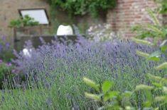 Zo blijft uw lavendel mooi! | Hovenierscentrum De Briellaerd Barneveld