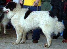 bukovina sheepdog - Google Search