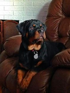 """Receive excellent tips on """"rottweiler puppies"""". They are offered for you on our site. Big Dogs, I Love Dogs, Puppy Love, Dogs And Puppies, Doggies, Rottweiler Breed, Rottweiler Love, Funny Animals, Cute Animals"""