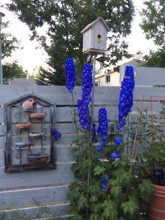 My shabby garden ~ Delphnium