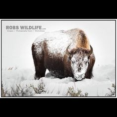 Snow Covered Bison  011117  Yellowstone National Park  Winter in Yellowstone  #Bison #Snow #Winter #Blizzard #Snowcovered #Snowcoveredbison #Buffalo #Yellowstone #Nationalpark #Wy #Wyoming #Wild #Wildlife #Animal #Animals #Nature  http://RobsWildlife.com all images are forsale