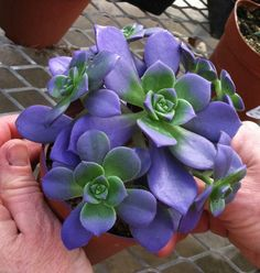 blue echeveria. Succulents. I'm thinking about creating a hanging basket of succulents and these are so pretty and my colour
