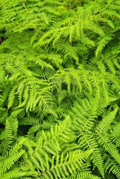 Background of lush bright green fern plants