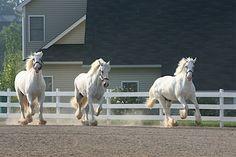 Grey Shires, Nonsuch Shires Ломовая Лошадь, Тяжеловозы, Йоркшир, Всадники, Счастье, Дух, Шаблоны