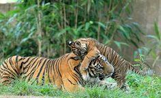 Fun with the tigers