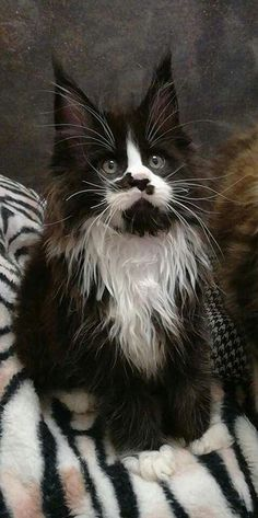 Interested in owning a Maine Coon cat and want to know more about them? We've made this site to tell you all you need to know about Maine Coon Cats as pets Pretty Cats, Beautiful Cats, Cute Kittens, Cats And Kittens, Grand Chat, Animal Gato, Maine Coon Kittens, Norwegian Forest Cat, Tier Fotos