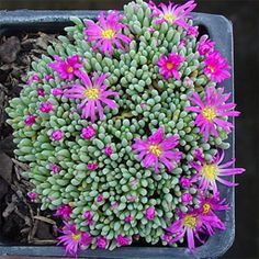 Delosperma sphalmanthoides -- got to be the prettiest delo I've ever seen. Wish it was a BIT hardier.