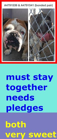 BONDED PAIR - MUST BE KEPT TOGETHER A4791541 2 yr old male gray/white pit bull mix. A4791539 2 yr old male brown/white English bulldog. Both dogs were picked up together as strays on January 13. They are strays. Very bonded and are currently kenneled together. The EB has limited vision while the pit appears to be the seeing eye dog. https://www.facebook.com/photo.php?fbid=909146055763899&set=pb.100000055391837.-2207520000.1421364422.&type=3&theater