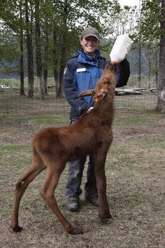 Moose calf! From the Alaska Wildlife Conservation Center (www.alaskawildlif...)