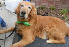This is Pepper - 12 yrs.  He is heartworm positive and undergoing treatment. Pepper also has some arthritis but it doesn't stop him from getting around. He is a older gentleman looking for a forever home where he can spend his golden years. Pepper is at Golden Retriever Rescue Alliance, TX.