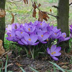 Der Krokus 'Grand Maitre' blüht in einem umwerfend schonen Violett. Ein hübscher Frühlingsbote für den Garten - Pflanzzeit ist im Herbst - online bestellbar bei www.fluwel.de