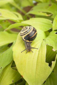 Slakken bestrijden Slakken zijn vaak ongewenste bezoekers in de tuin. Deze beestjes eten graag de bladeren van voornamelijk mooie bladplanten, zoals de Hosta. Slakken eten gaten in de bladeren en kunnen de planten daarmee grote schade toebrengen.