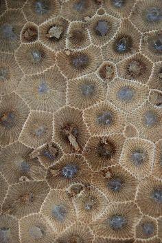 Petoskey stone a fossilized coral.  #PetoskeyArea  http://www.PetoskeyArea.com