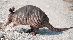 Pueden llegar a pesar alrededor de unos 60 kg y pueden llegar a medir más de 1,6 m desde el hocico a la punta de la cola,donde de 1/3 a 2/5 es cola.  Tiene un caparazón oscuro, con numerosas placas ordenadas en filas transversales, que cubren también la cola. Su cuerpo es voluminoso y sus extremidades son cortas. Su cabeza es alargada y orejas pequeñas. Cuentan con uñas grandes y potentes que pueden llegar a medir 20 cm, especialmente en sus extremidades delanteras.
