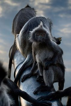 Silver leaf langurs... ° I love this pin. the natural colors are dazzling.i think this is a beautiful picture.