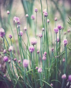 Chives in flower. The flowers are edible too.