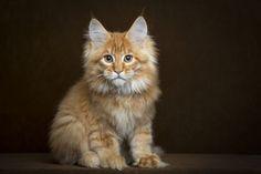 Maine Coon #Kitten - Want!