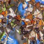 Butterflies by Carla Cahill