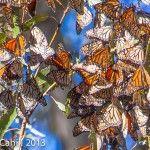 Butterflies by Carla
