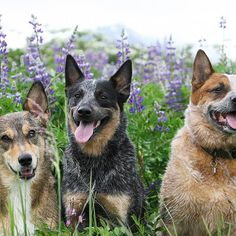"""The wildflowers are finally in full bloom, but adding some heelers to the mix really does make the picture, don't you think ;)"" writes @lynzeyy. #dogsofinstagram #animal #pets #L4L"
