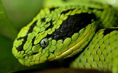 Green Snake  ...you are here, Join now ! www.TuHic.com