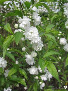 Prunus glandulosa 'Alba Plena' ('Alboplena') - Witte amandel in de Digituin.