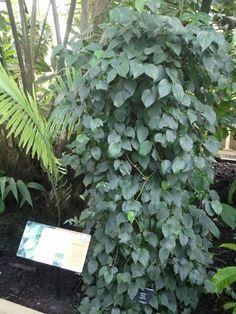piper nigrum/コショウ @Kew Gardens