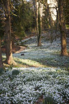 snowdrops-britt-willoughby-dyer-gardenista-3