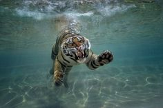 The San Diego Zoo Safari Park's new Tiger Trails exhibit, opening summer 2014, will feature an underwater viewing area.
