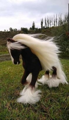 Beautiful Gypsy Vanner - Animals