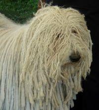Puli. El Puli es una de las razas de pastor más antiguas. Desciende ciertamente del perro oriental, como antepasado común de muchas razas de pastor de pelo largo. No obstante, algunos sostienen que el Puli en particular, proviene del Terrier Tibetano.
