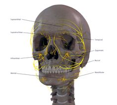 Facial Nerves - Click to Enlarge