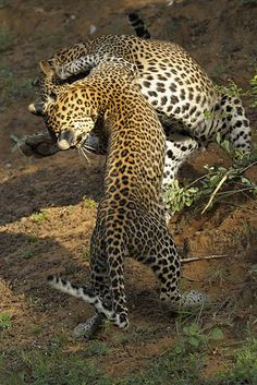 leopards, Yala National Park, Sri Lanka (www.secretlanka.com) #SriLanka #Leopards