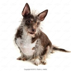 From Robin L. Nellist, Scruffy terrier mix, isolated on white - Stock Photos & Images | Stockafe.com #stockafe #stockphotography