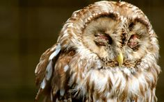 owl_face_sleep_predator_bird_65067_1920x1200.jpg (1920×1200)