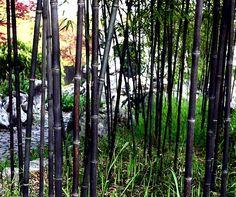 Bamboo Seeds Catalog — มีเมล็ดพันธุ์ไผ่จำหน่าย: PHYLLOSTACHYS NIGRA — FRESH SEEDS ARRIVED — GERMIN...