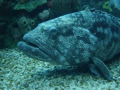 large fresh water fish - Google Search