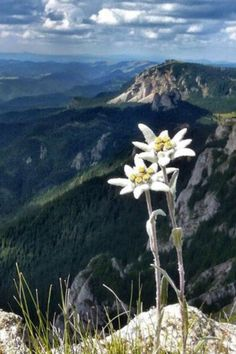 Edelweiss (Nobelwhite) -The flower of the Alps and illegal to pick in Germany - It's one of the rarest flowers in the alps and only grows in high altitude.