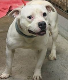 Carla: Stunning white female bulldog mix is out of time at high-kill SC shelter