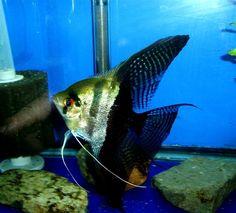 pterophyllum mutation | Halfblack Silver Angelfish: This variety has a black rear portion.