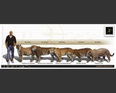 Prehistoric World, Prehistoric Creatures, Giant Animals, Animals And Pets, Extinct Animals, Fauna, Big Cats, Animal Kingdom, Jaguar
