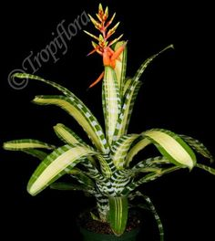 Types of Houseplant Bugs and Methods to Check Their Infestation Aechmea Chantinii 'Samurai' Bromeliad Flowers Last Longer In Cool Temperatures Unusual Plants, Exotic Plants, Tropical Plants, Tropical Gardens, Unusual Flowers, Air Plants, Garden Plants, House Plants, Growing Flowers