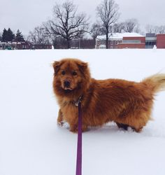 #BearBear my golden retriever chow mix