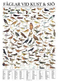 swedish-bird-map.jpg (591×826)