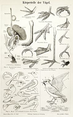 Items similar to Vintage illustration of the anatomy of birds, poster reproduction on Etsy Bird Drawings, Animal Drawings, Historia Natural, Bird Sketch, Bird Poster, Animal Anatomy, Anatomy For Artists, Anatomy Drawing, Nature Journal