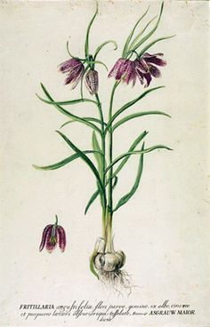 snakeshead fritillary | painter unknown | late 18th c | © victoria and albert museum