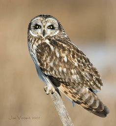 Owl Species Seen in Massachusetts Owl Species, Saw Whet Owl, Happy Owl, Short Eared Owl, Owl Pictures, Cardinal Birds, Beautiful Owl, Wise Owl, Owl Bird