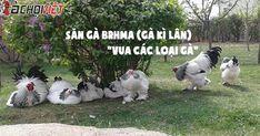 """Gà Brahma – Bí quyết nuôi """"vua các loại gà"""" - GaChoiViet.Com"""