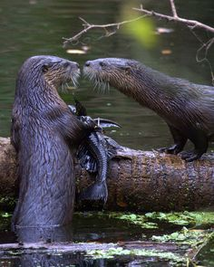 River otters…cutest ever!