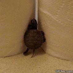Turtle Climbing Fail - www.gifsec.com